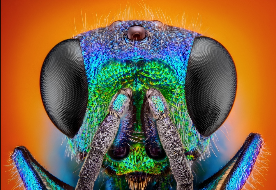 There is no greater artist than the Creator  HolopygagenerosaCuckoowasp-FlickrndashCompartilhamentodefotos2014-03-2118-15-06_zpsf9d83b1a