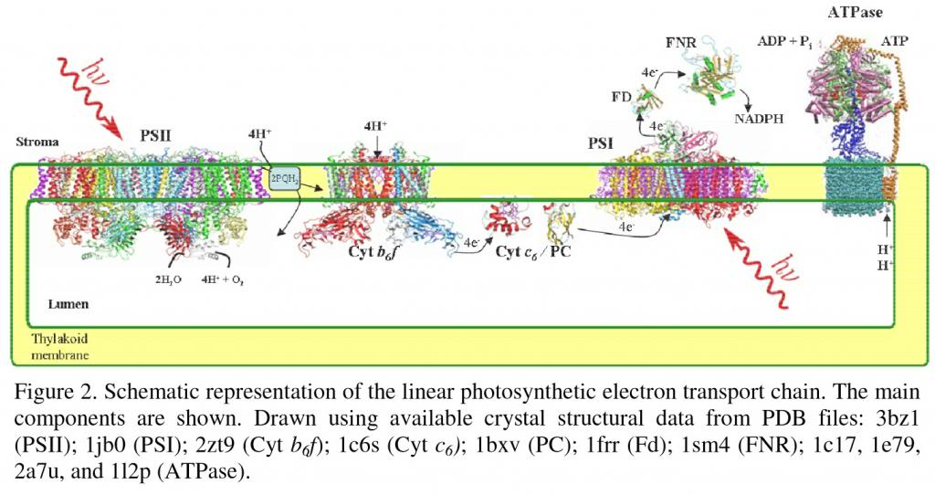 The Z-Scheme of photosynthesis Pigments_zps3efa4aca