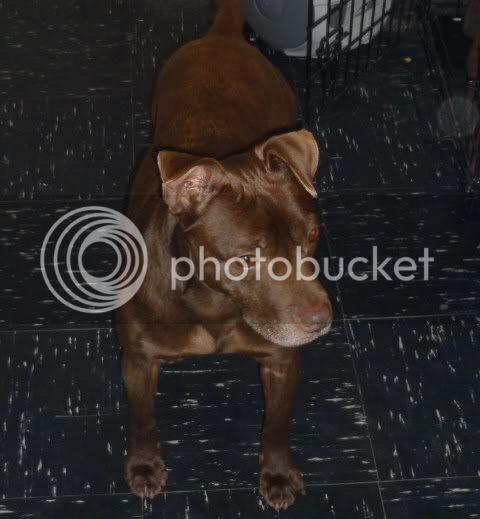 Bruno Staffie X Chocolate Lab Bruno1