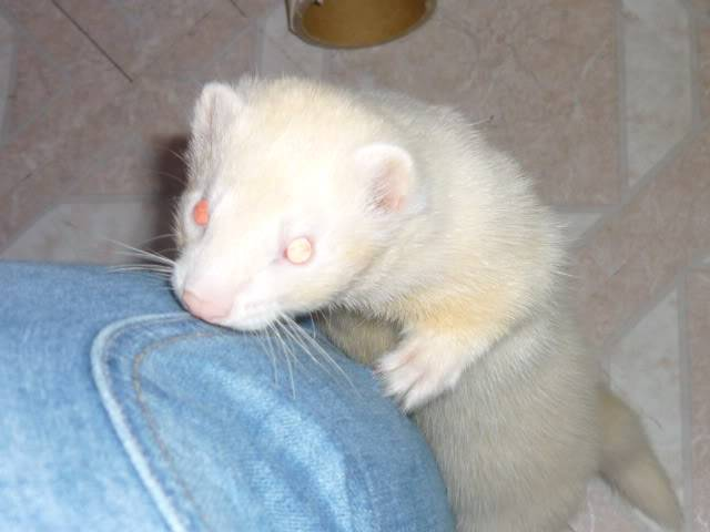 2 YOUNG MALE FERRETS (HOBS) Rr3