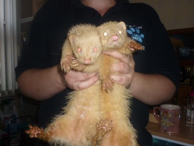 2 YOUNG MALE FERRETS (HOBS) Strayboys1