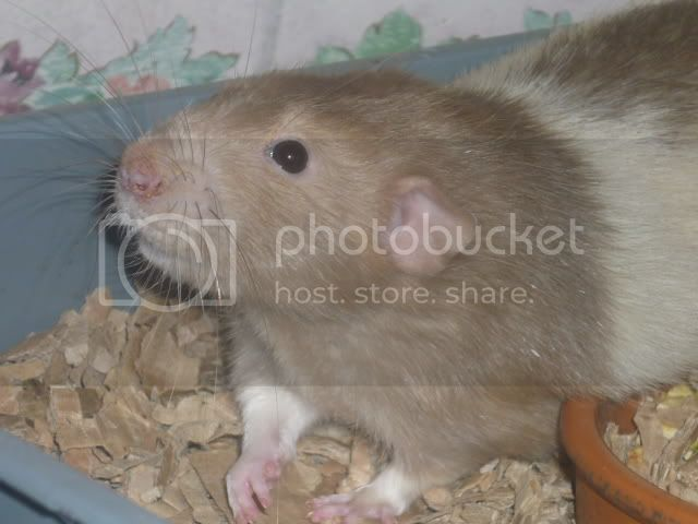 male rats, notts Flips2