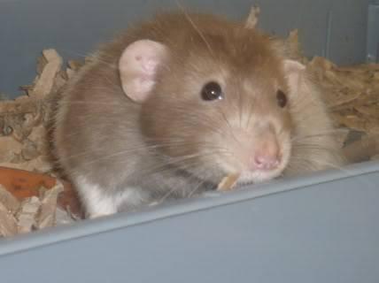 male rats, notts Flips3
