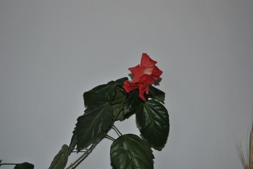 florile din apartament/gradina - Pagina 8 F1-1
