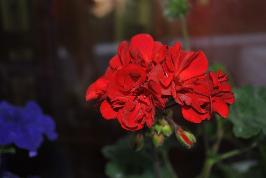 florile din apartament/gradina - Pagina 8 F10-1