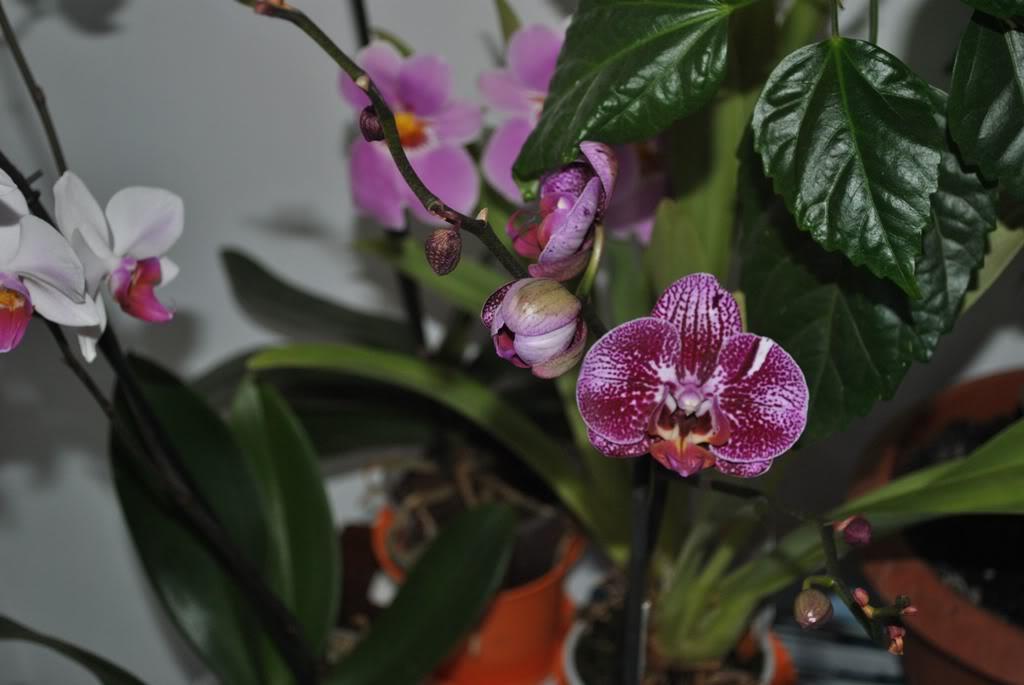 florile din apartament/gradina - Pagina 8 F2-1