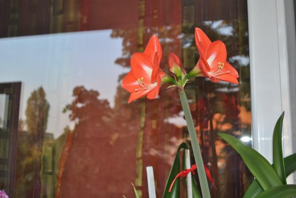 florile din apartament/gradina - Pagina 8 F7-1