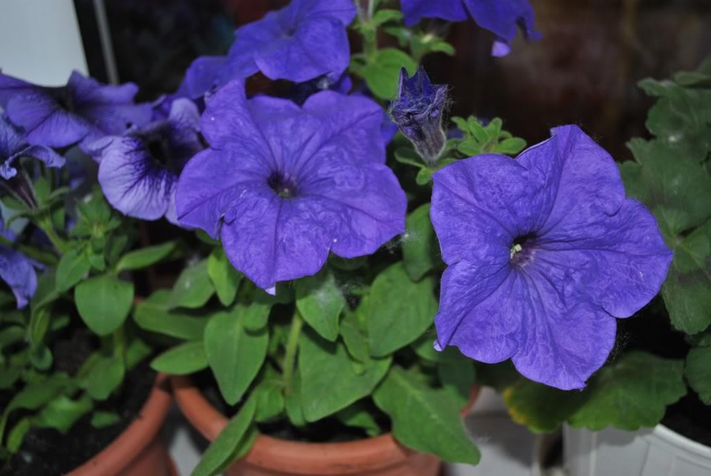 florile din apartament/gradina - Pagina 8 F8-1