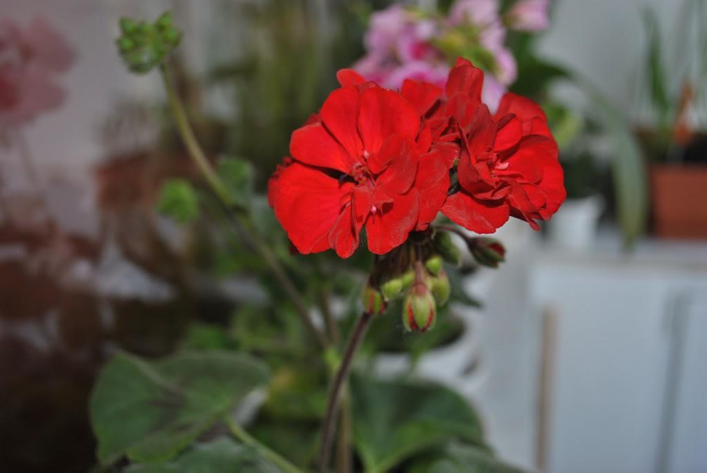 florile din apartament/gradina - Pagina 8 F9-1
