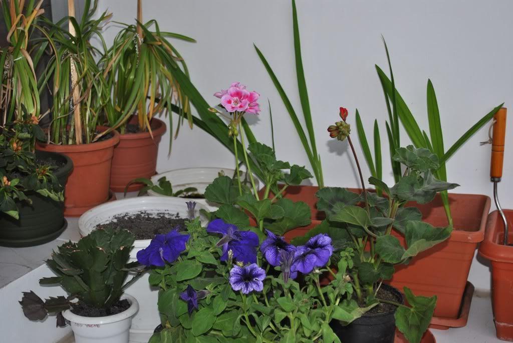 florile din apartament/gradina - Pagina 7 F9