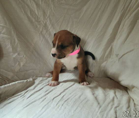 Cross breed pups (not large breed) 29 days old in Kent 3c49a5ce