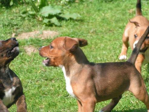 Cross breed pups (not large breed) 29 days old in Kent 65238756