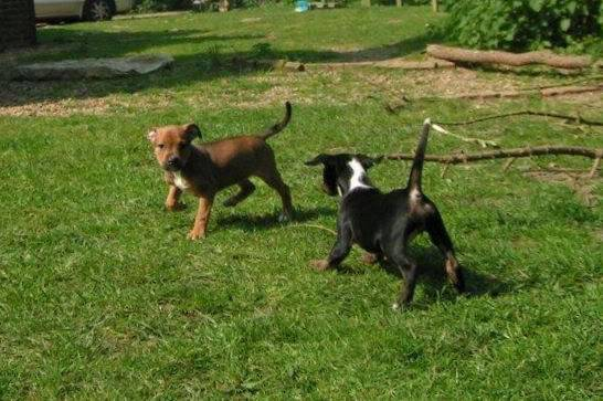 Cross breed pups (not large breed) 29 days old in Kent 69af1e54