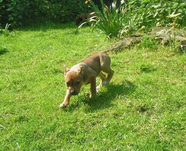 Cross breed pups (not large breed) 29 days old in Kent 81074254