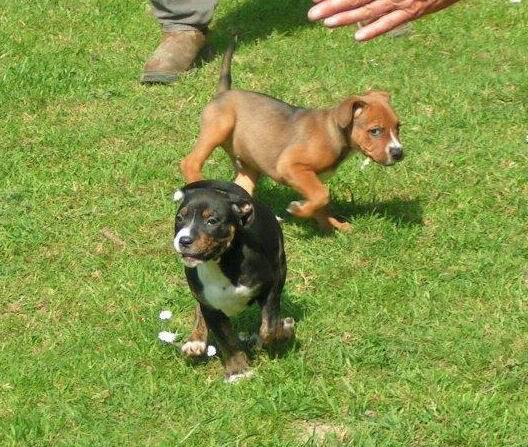 Cross breed pups (not large breed) 29 days old in Kent A581cbf1