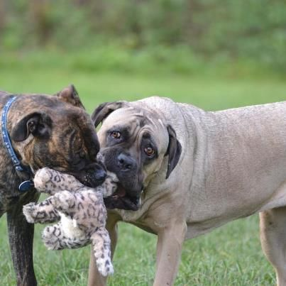 PIP - Boxer X - HOMED - Page 2 KayleighPip_zps65c25725