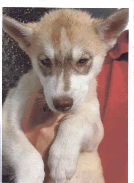 Siberian Huskies Puppies Female1_zps26d8a06c