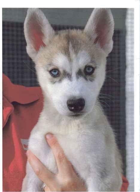 Siberian Huskies Puppies Female2_zps1de59a23