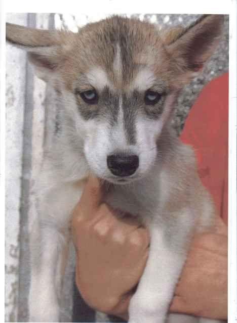 Siberian Huskies Puppies Female3_zps18209db9