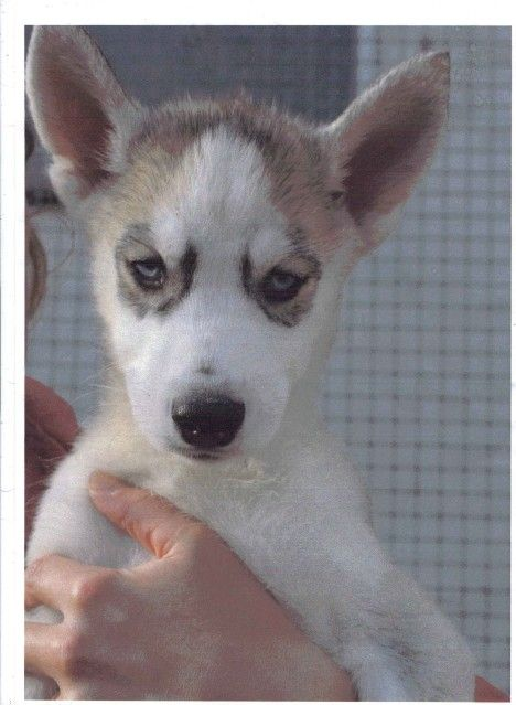 Siberian Huskies Puppies Male1_zps0efe363c