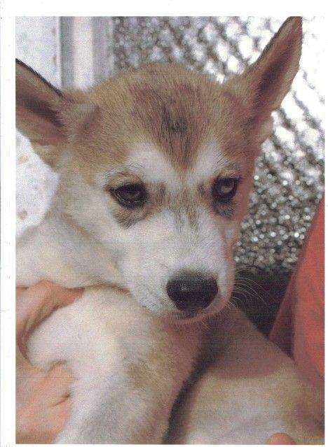 Siberian Huskies Puppies Male2_zpsc66e59c2