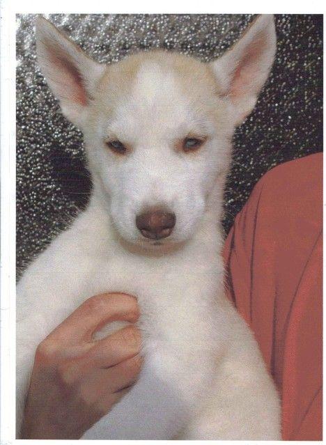 Siberian Huskies Puppies Male3_zps80fc09a6