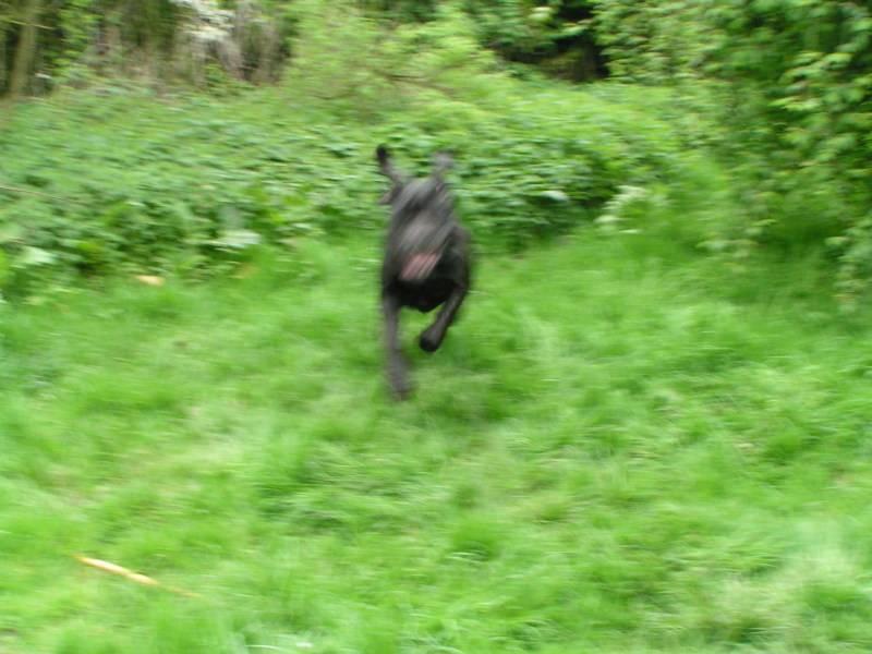 Max - English Mastiff -  0d9e497b