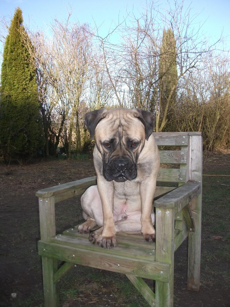 MORGAN 14 month Bullmastiff with LBDR Dogrescuepictures094