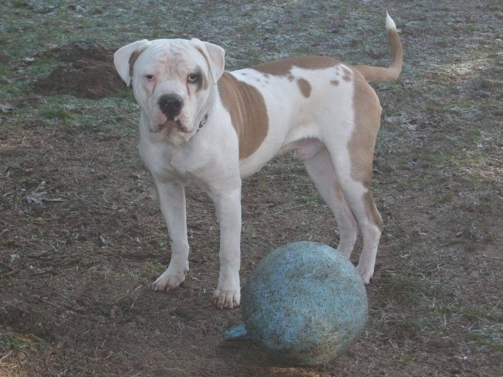 P.T. 8 month American Bulldog with LBDR PT002