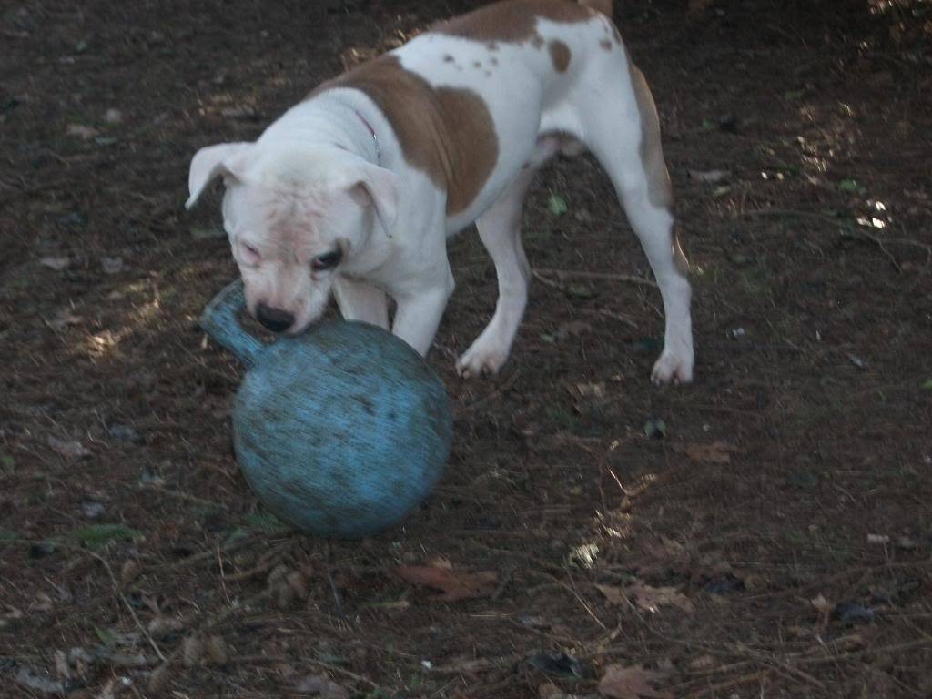 P.T. 8 month American Bulldog with LBDR PT018