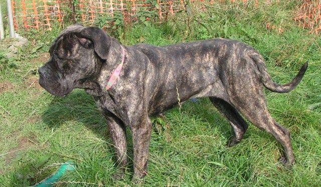 Roxy - Bullmastiff - HOMED 013_zps99a7d0d3