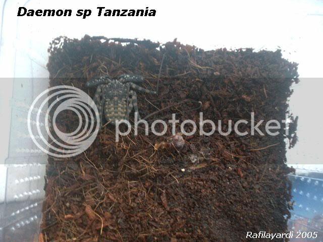 Amblypyge :  Damon variegatus / Damon diadema 906ea82c