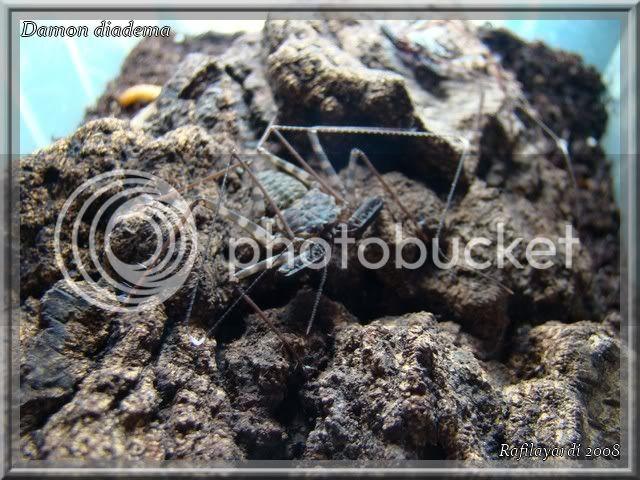 Amblypyge :  Damon variegatus / Damon diadema DSC01251