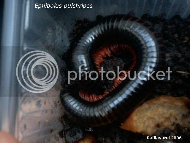 Epibolus pulchripes. Ephiboluspulchripes01