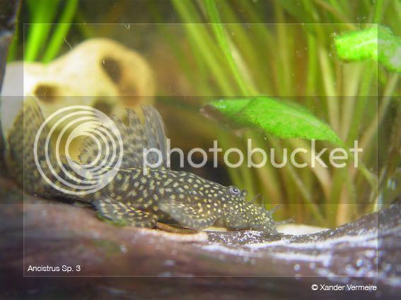 aquarium d'eXecoV Acistrus