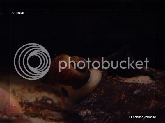 aquarium d'eXecoV - Page 5 Ampullaire
