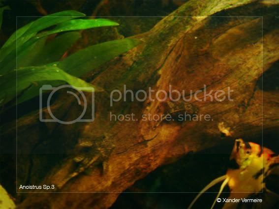 aquarium d'eXecoV - Page 3 Ancistrus2