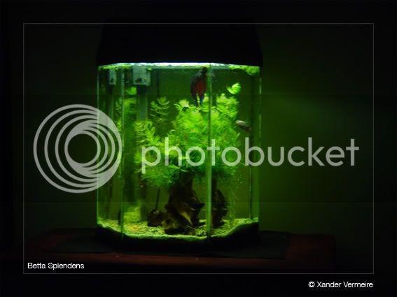 aquarium d'eXecoV - Page 4 Betta8