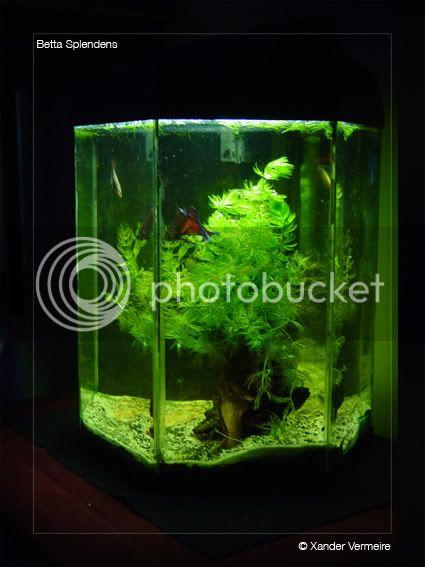 aquarium d'eXecoV - Page 4 Betta9