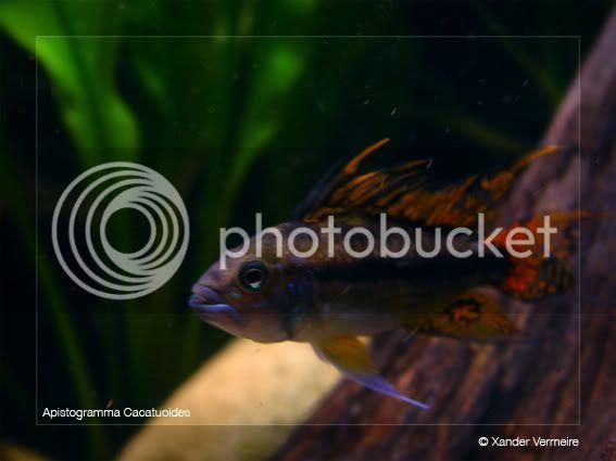 aquarium d'eXecoV - Page 2 Cacamale2
