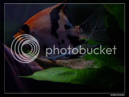 aquarium d'eXecoV - Page 9 Eggs2