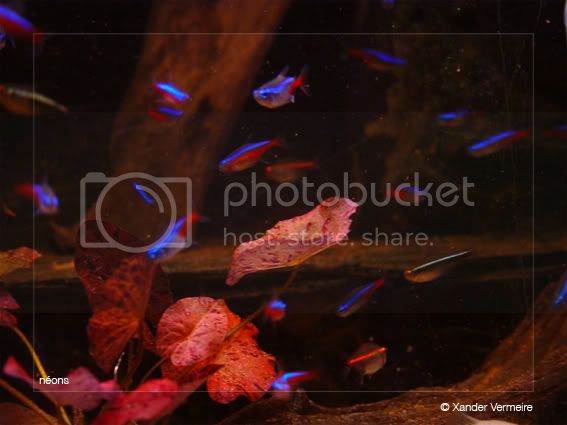 aquarium d'eXecoV - Page 3 Neons