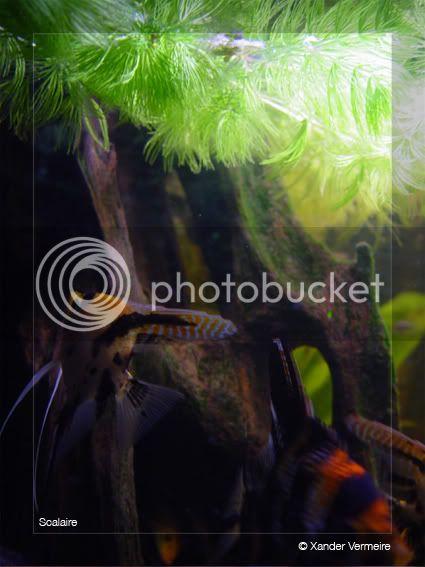 aquarium d'eXecoV - Page 2 Scalaire-1
