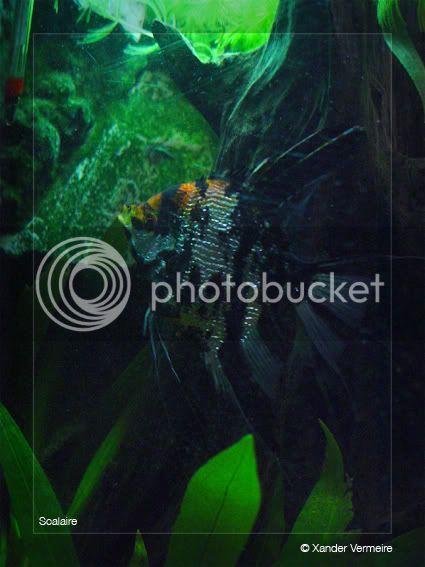 aquarium d'eXecoV - Page 3 Scalaire11