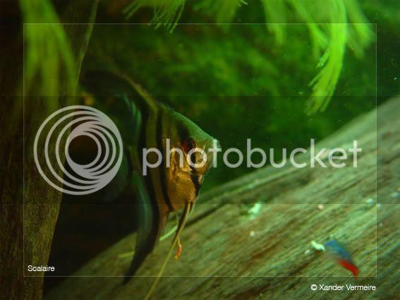 aquarium d'eXecoV - Page 2 Scalaire2-1