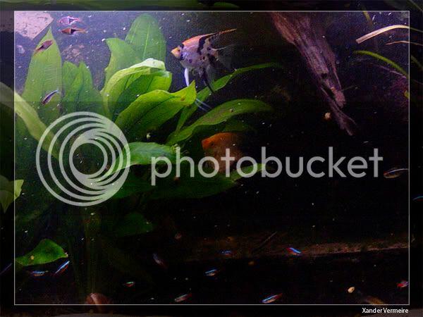 aquarium d'eXecoV - Page 8 Scalaire3-1