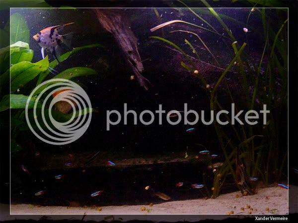 aquarium d'eXecoV - Page 8 Scalaire4