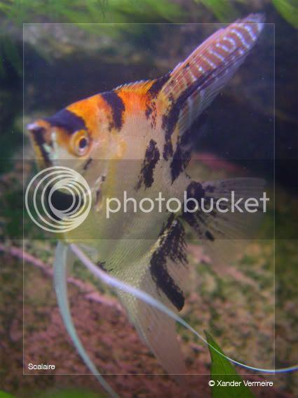 aquarium d'eXecoV - Page 2 Scalaire7