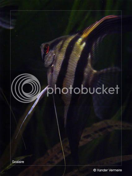 aquarium d'eXecoV - Page 3 Scalaire9