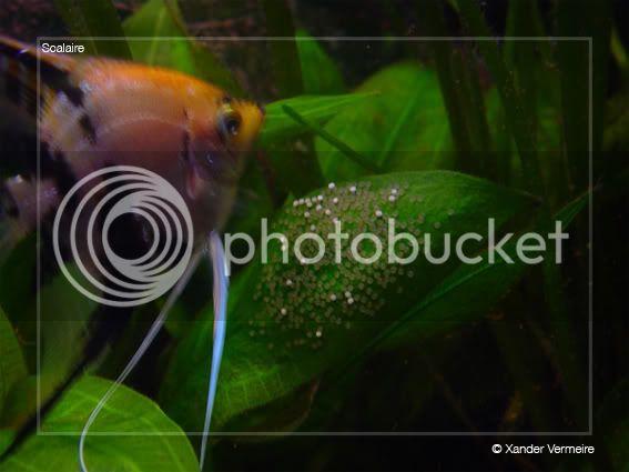 aquarium d'eXecoV - Page 4 Scalaireeggs